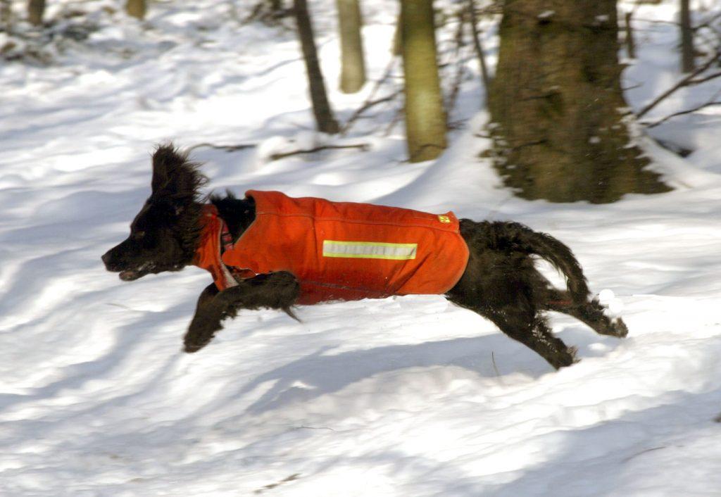 Deutscher Wachtelhund©Hunting-Heritage/Brauchitsch